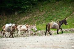 Trzy osła niesie ładunki Obraz Royalty Free