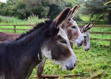 Trzy osła w Irlandia obraz royalty free