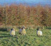 trzy owce Fotografia Royalty Free