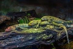 Trzy Północnej Caiman jaszczurki Zdjęcia Royalty Free