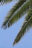 Trzy palmowego liścia Obraz Stock