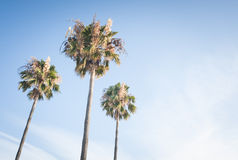 Trzy palmy Obraz Royalty Free