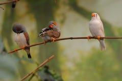 Trzy papuga Obrazy Royalty Free