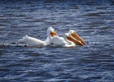 Trzy pelikana Pelecanus erythrorhynchos Pływa w Wietrznym jeziorze Zdjęcie Stock