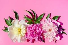 Trzy peonia kwiatów śmietanka, menchia, purpury, z liśćmi na jaskrawym Zdjęcie Stock