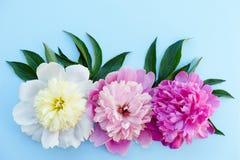Trzy peonia kwiatów śmietanka, menchia, purpury, z liśćmi na jaskrawym Fotografia Royalty Free