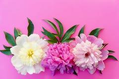 Trzy peonia kwiatów śmietanka, menchia, purpury, z liśćmi na jaskrawym Obrazy Stock