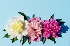 Trzy peonia kwiatów śmietanka, menchia, purpury, z liśćmi na jaskrawym Zdjęcia Royalty Free