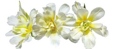 Trzy pięknego koloru żółtego tulipanu odizolowywającego, zakończenie odgórny widok Obrazy Stock