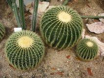 Trzy piłki kaktusowy rauhocereus riosaniensis Fotografia Stock
