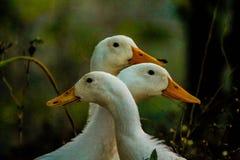 Trzy piękna kaczka Zdjęcie Stock