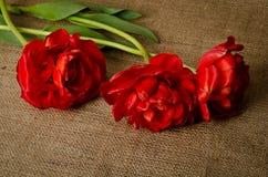 Trzy pięknego czerwonego tulipanu Obrazy Royalty Free