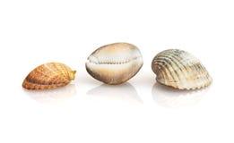 Trzy pięknej morze skorupy z odbiciem Obrazy Stock