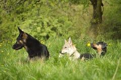 Trzy pies Zdjęcia Stock