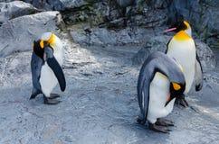 Trzy pingwinów stojak Fotografia Royalty Free