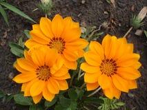 Trzy pomarańcze z brązem paskuje gazania kwiaty Zdjęcie Stock