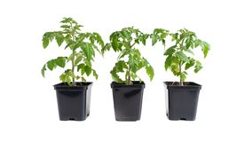 Trzy pomidorowej rozsady odizolowywającej przeciw bielowi obraz stock