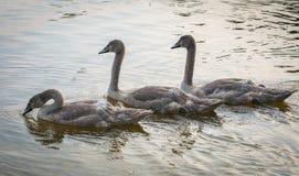 Trzy Popielatego łabędź pływa na jeziorze Trzy pełen wdzięku łabędziątka unosi się na wodzie zdjęcia royalty free