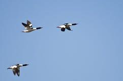 Trzy Pospolitej nurogęsi Lata w niebieskim niebie Zdjęcia Stock