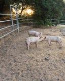 Trzy potomstwa różowią brudnych domowych świniowatych rodzeństw w ślicznych kędzierzawych ogony, stawia czoło innych nosy dotyka  zdjęcia stock
