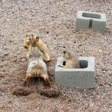 Psia walka dla arachidu Zdjęcia Royalty Free