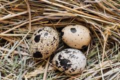 Trzy przepiórki jajka w siana gniazdeczku zdjęcia stock