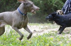 Trzy psów sztuki bój w piasku obrazy royalty free
