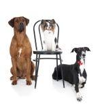 Trzy psa Fotografia Royalty Free