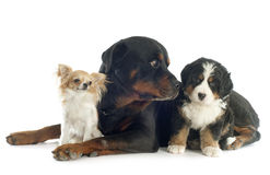 Trzy psa Obrazy Royalty Free