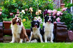 Trzy psa Border Collie fotografia stock
