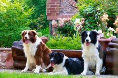 Trzy psa Border Collie zdjęcia stock