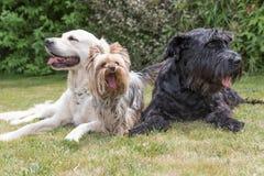 Trzy psa kłamają na gazonie Obrazy Stock