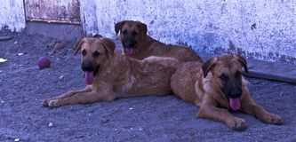 Trzy psa patrzeje kamera zdjęcie royalty free