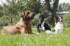 Trzy psa (Rhodesian Ridgeback ogar Hort, Papillon,) Fotografia Royalty Free