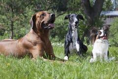 Trzy psa (Rhodesian Ridgeback ogar Hort, Papillon,) Zdjęcie Royalty Free
