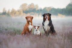 Trzy psa w wrzosie fotografia stock