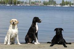 trzy psy Zdjęcie Stock