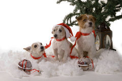 trzy psy Fotografia Royalty Free