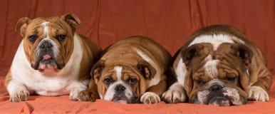 trzy psy Fotografia Stock