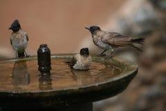 Trzy ptaków kąpać się Obrazy Royalty Free