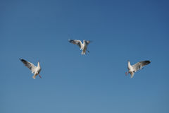 Trzy ptaka chwyta jedzenie w niebie Obrazy Royalty Free