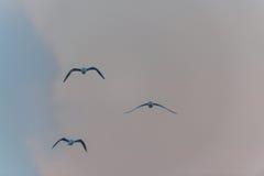 Trzy ptaka w niebie, chmurny czas Zdjęcia Stock