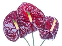 Trzy purpurowy anthurium (Flamingów kwiaty) Fotografia Stock