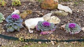 Trzy purpurowy ornamentacyjny Kale w rockowym ogródzie i brudzie Fotografia Stock