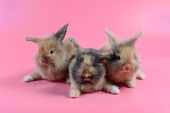 Trzy puszysty brown królik na czystym różowym tle Obrazy Stock