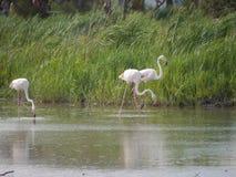 Trzy różowego białego flaminga szuka jedzenie przed bujny zieleni brzeg zdjęcie royalty free