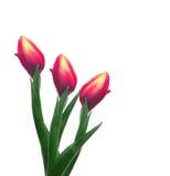 Trzy różowego tulipanu na białym tle Zdjęcie Royalty Free