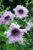 Trzy różowej petuni na natury tła zakończeniu up Fotografia Royalty Free