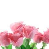 Trzy różowej róży odizolowywającej na bielu Zdjęcie Stock