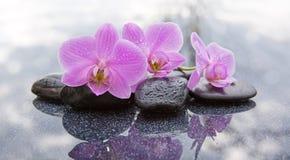Trzy różowych orchidei i czarnych kamieni zamkniętego up Obraz Royalty Free